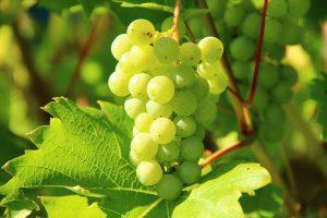 skuteczne zabezpieczanie winorośli przed chorobami